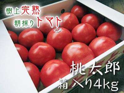 樹上完熟の朝採りトマト 最旬食材!大好評販売中!朝採り収穫の様子を現地取材!_a0254656_18525192.jpg