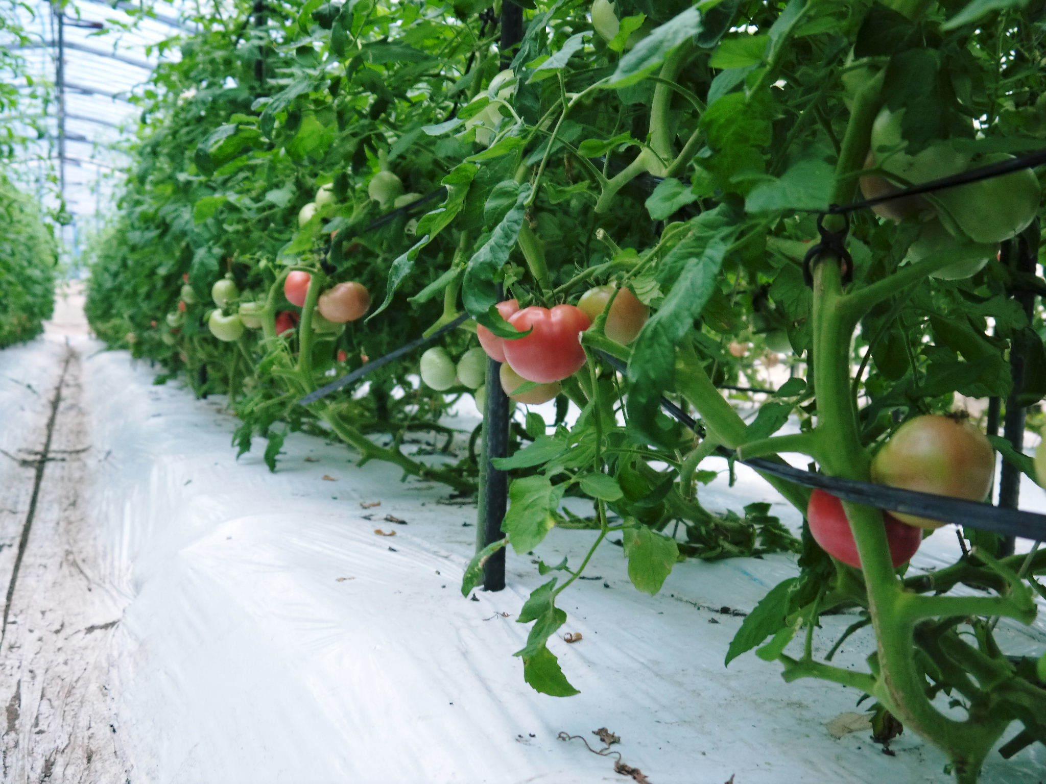 樹上完熟の朝採りトマト 最旬食材!大好評販売中!朝採り収穫の様子を現地取材!_a0254656_19033219.jpg