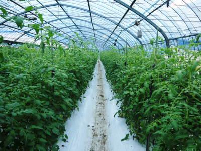 樹上完熟の朝採りトマト 最旬食材!大好評販売中!朝採り収穫の様子を現地取材!_a0254656_19073351.jpg