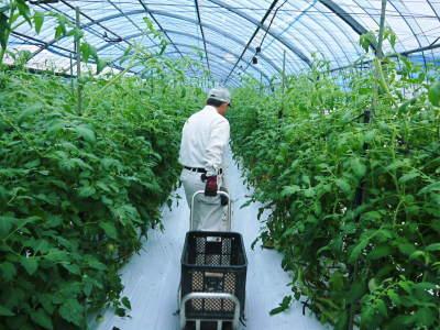 樹上完熟の朝採りトマト 最旬食材!大好評販売中!朝採り収穫の様子を現地取材!_a0254656_19104940.jpg