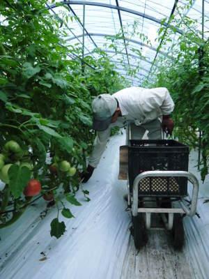 樹上完熟の朝採りトマト 最旬食材!大好評販売中!朝採り収穫の様子を現地取材!_a0254656_19134997.jpg
