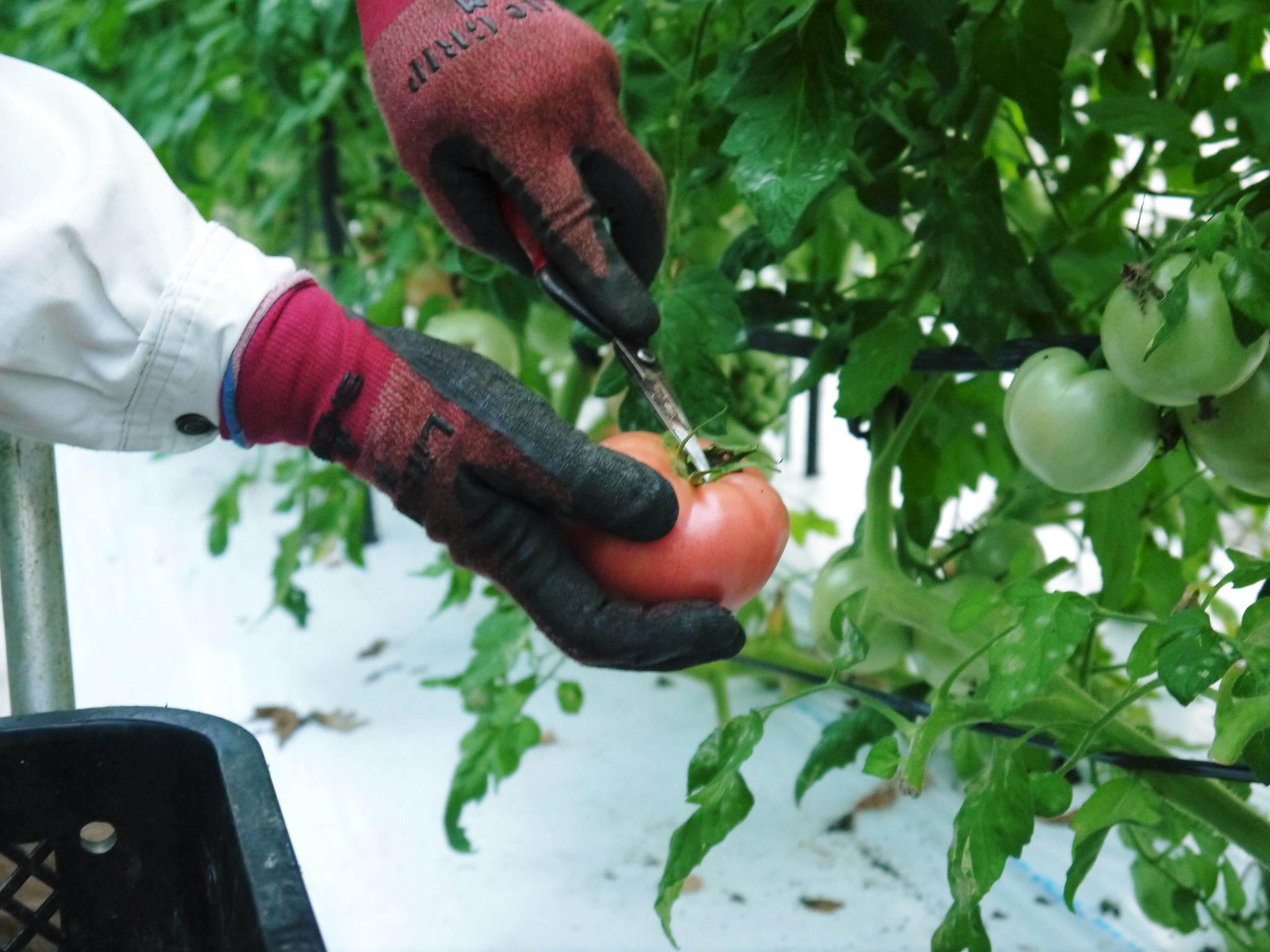 樹上完熟の朝採りトマト 最旬食材!大好評販売中!朝採り収穫の様子を現地取材!_a0254656_19191303.jpg