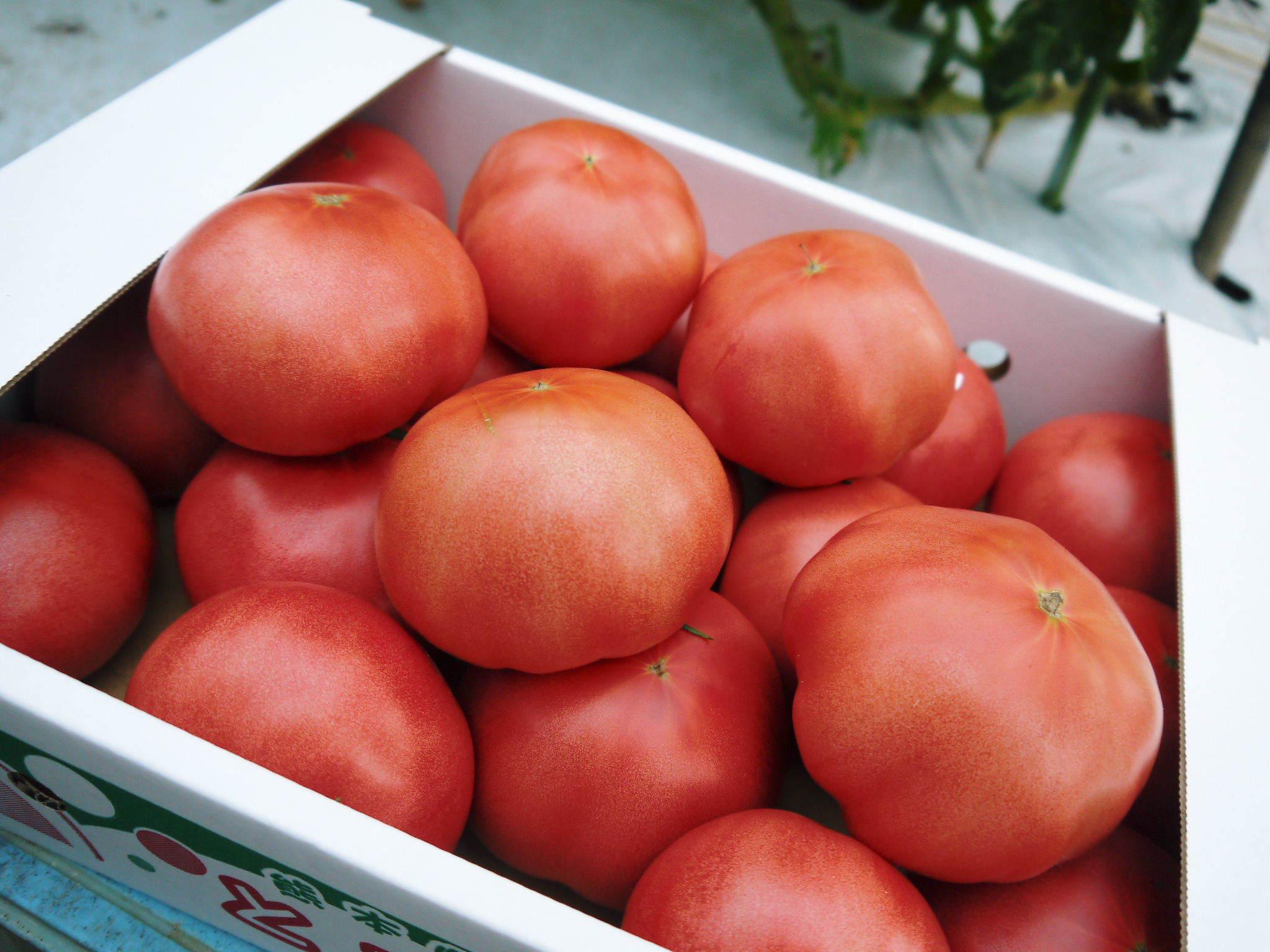 樹上完熟の朝採りトマト 最旬食材!大好評販売中!朝採り収穫の様子を現地取材!_a0254656_19322486.jpg