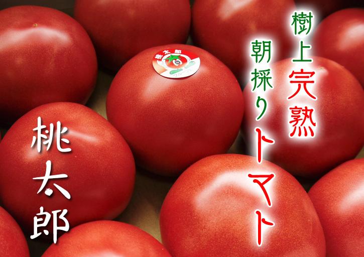 樹上完熟の朝採りトマト 最旬食材!大好評販売中!朝採り収穫の様子を現地取材!_a0254656_19363546.jpg