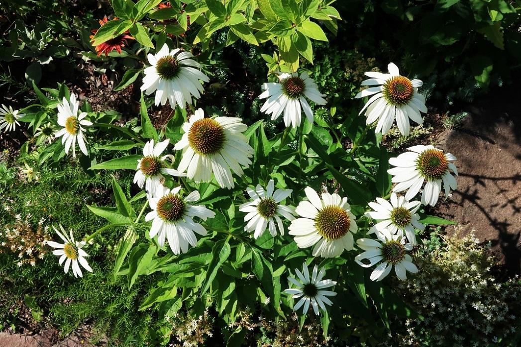庭のエキナセア_a0107574_14033396.jpg