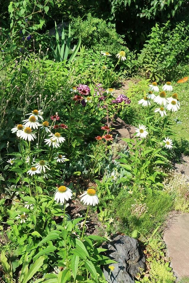 庭のエキナセア_a0107574_14034937.jpg