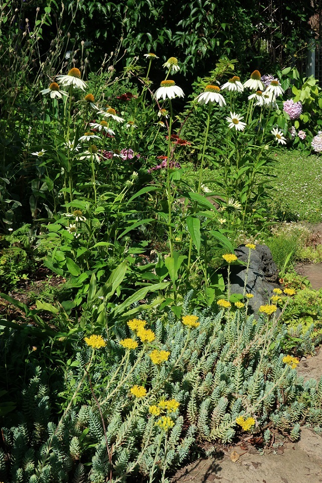庭のエキナセア_a0107574_14040297.jpg