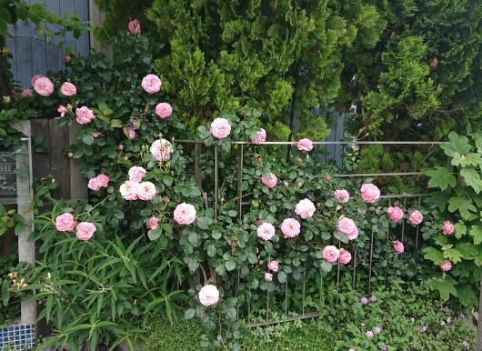 お庭の草花たち_c0179308_13184989.jpg