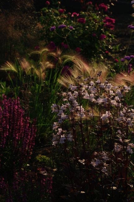 宿根草と古い薔薇_c0224013_02423819.jpg