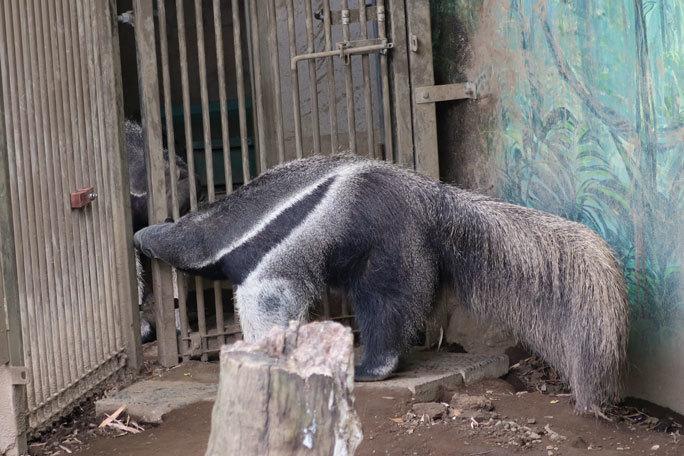 江戸川区自然動物園の動物たち~オオアリクイカップル「アニモ&アイチ」_b0355317_12574448.jpg