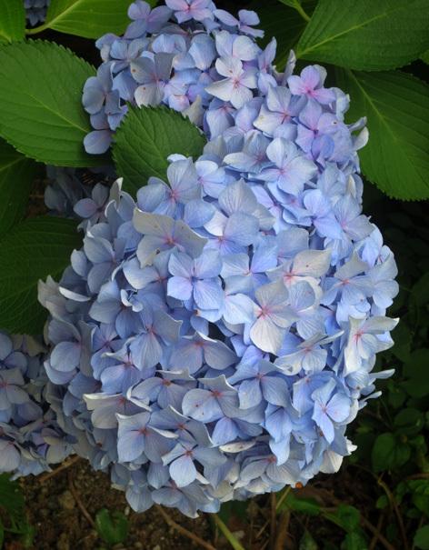 ■惜別の紫陽花、そして週替わりの夕暮れ[7/5]_d0190217_21332120.jpg
