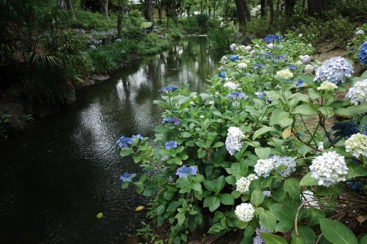 あじさい鮮やか 長居植物園_f0209122_10164915.jpg