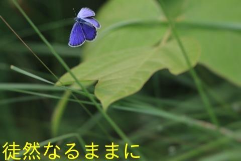 ミヤマシジミ・ ミヤマカラスアゲハ夏型♂_d0285540_17505232.jpg