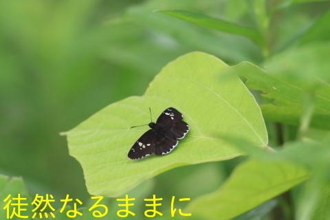 ミヤマシジミ・ ミヤマカラスアゲハ夏型♂_d0285540_17505618.jpg
