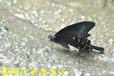 ミヤマシジミ・ ミヤマカラスアゲハ夏型♂_d0285540_17514115.jpg