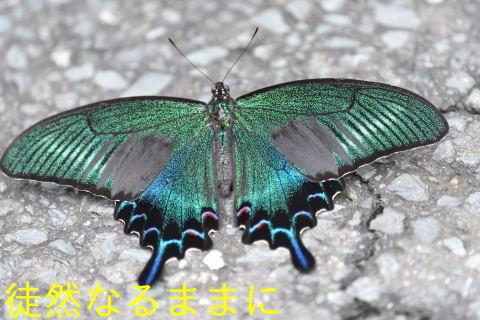 ミヤマシジミ・ ミヤマカラスアゲハ夏型♂_d0285540_17514381.jpg