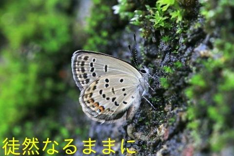 クロツバメシジミ_d0285540_18075191.jpg