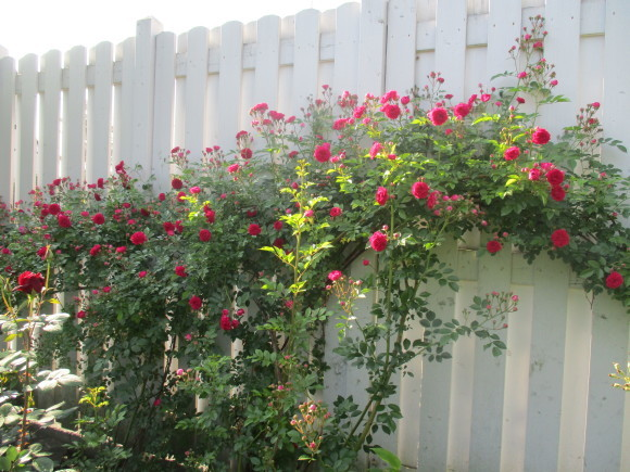 薔薇を飾って我が家でランチ~_a0279743_07580207.jpg