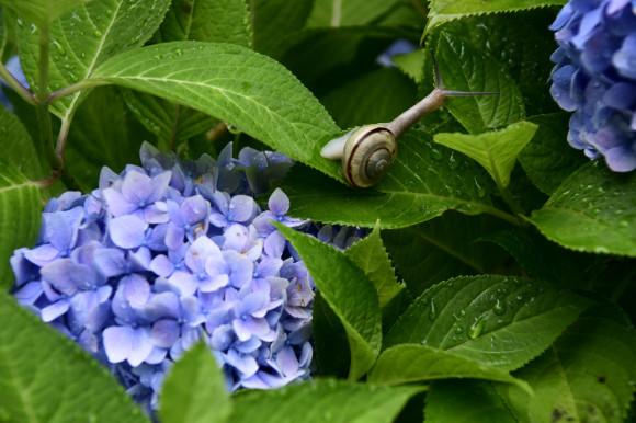 紫陽花(3)_c0093046_17250636.jpg