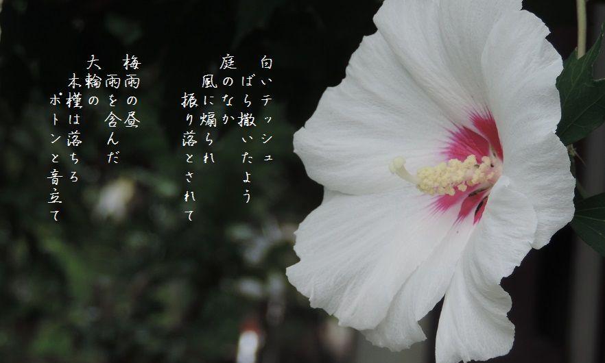 庭の木槿_c0187781_17533868.jpg