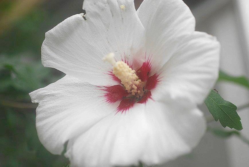 庭の木槿_c0187781_17575880.jpg