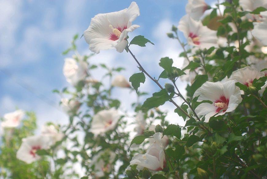 庭の木槿_c0187781_18035644.jpg