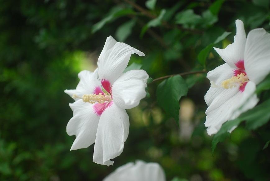 庭の木槿_c0187781_23202427.jpg