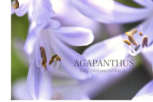 梅雨期に咲くアガパンサス_d0316986_13253345.jpg