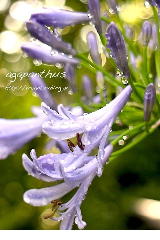 梅雨期に咲くアガパンサス_d0316986_1325670.jpg