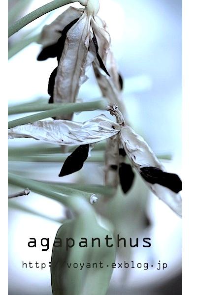 梅雨期に咲くアガパンサス_d0316986_22414270.jpg