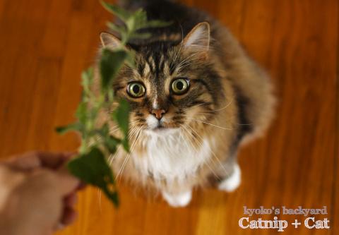 キャットニップに猫相が変わる_b0253205_09490794.jpg