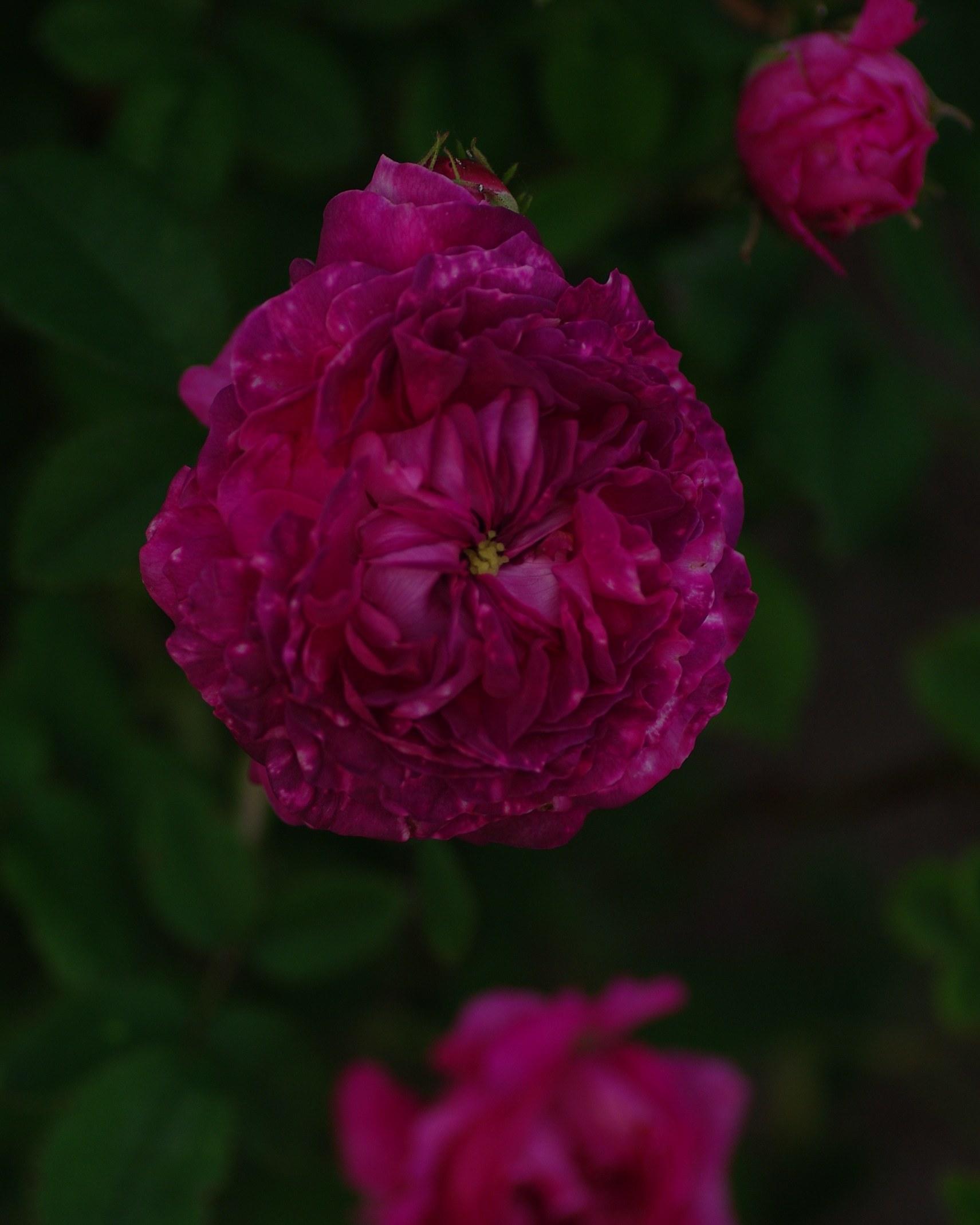 宿根草と古い薔薇_c0224013_00115337.jpg