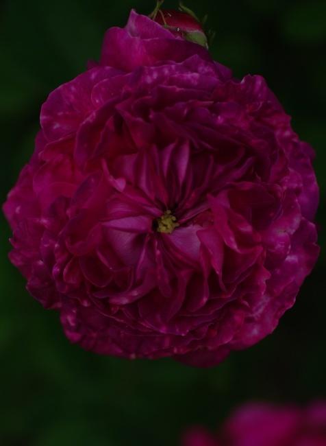 宿根草と古い薔薇_c0224013_00121883.jpg