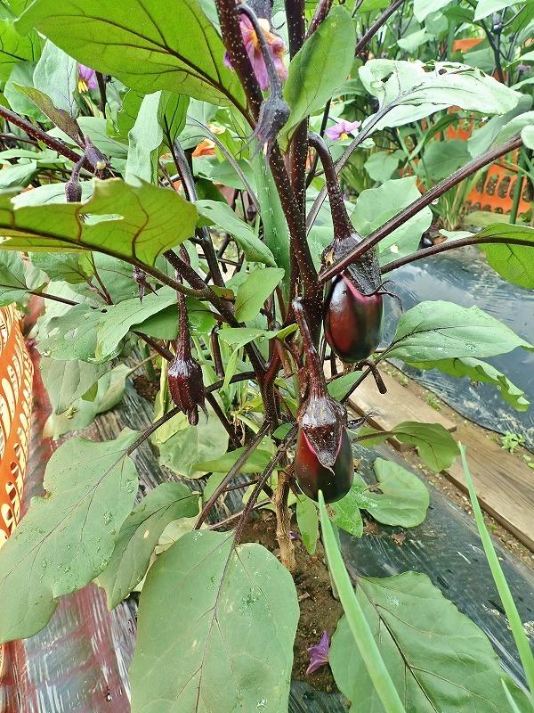 兼業農家の家庭菜園を覗いてみました_c0336902_18055675.jpg