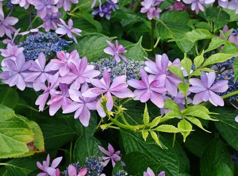 紫陽花とアマガエル_c0336902_18331614.jpg
