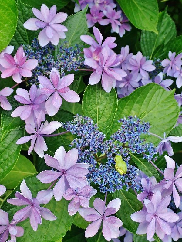 紫陽花とアマガエル_c0336902_18332033.jpg