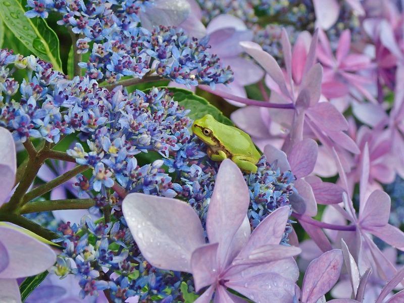 紫陽花とアマガエル_c0336902_18332473.jpg