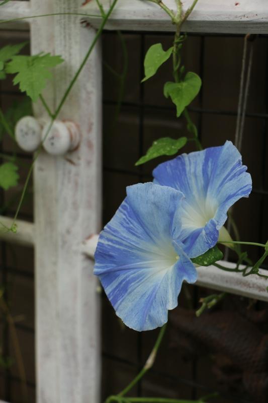 鬱陶しい雨に爽やかなブルー_a0123003_22051913.jpg