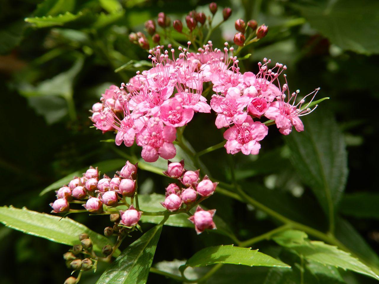 シモツケが咲き始める「小暑・温風至」_c0025115_22354964.jpg