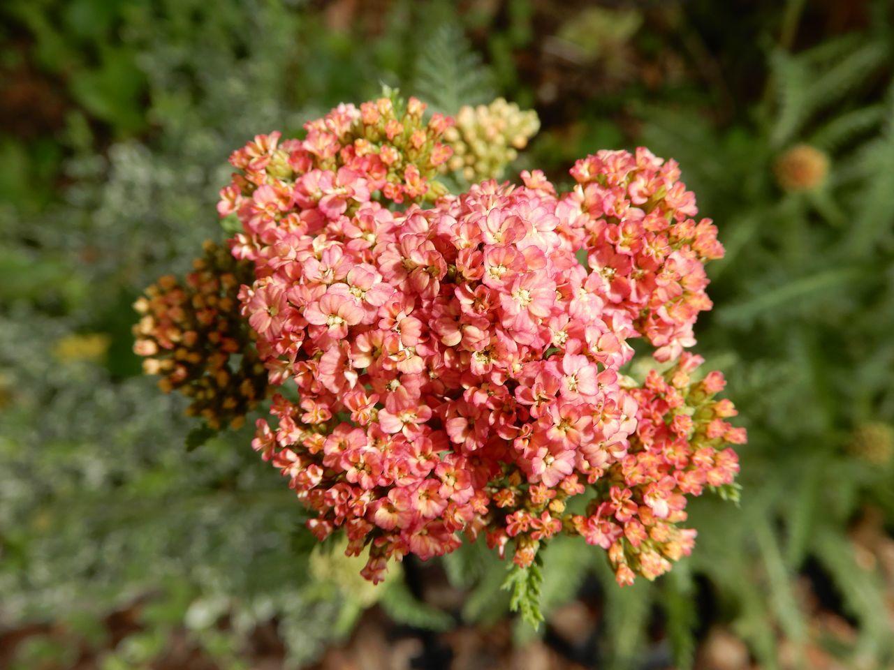 シモツケが咲き始める「小暑・温風至」_c0025115_22415608.jpg