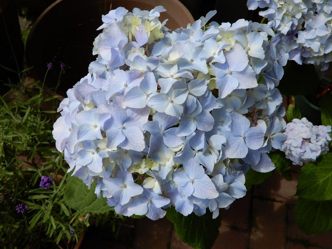 シモツケが咲き始める「小暑・温風至」_c0025115_22422386.jpg