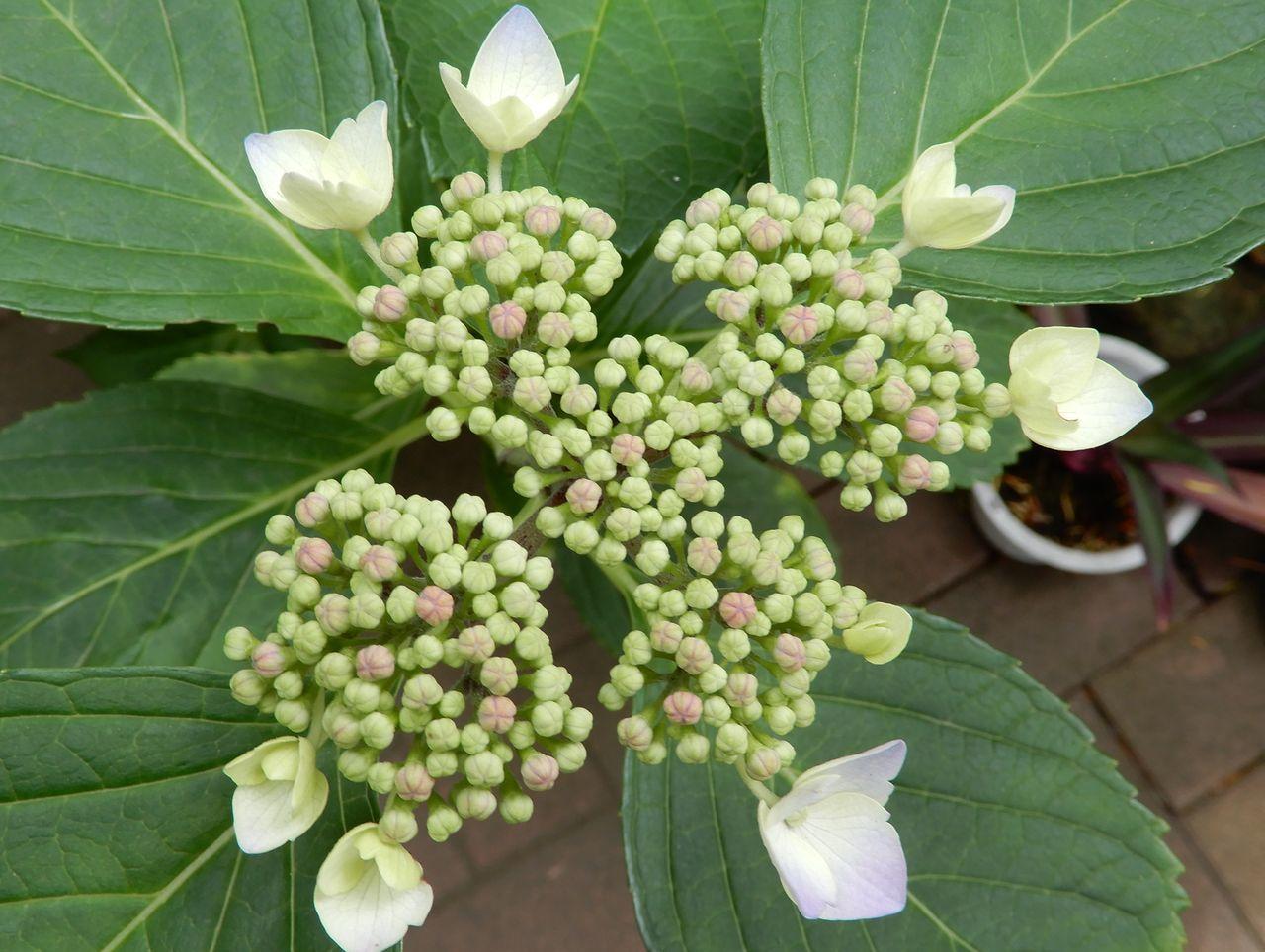 シモツケが咲き始める「小暑・温風至」_c0025115_22422594.jpg