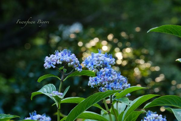 紫陽花 **_d0344864_20281580.jpg
