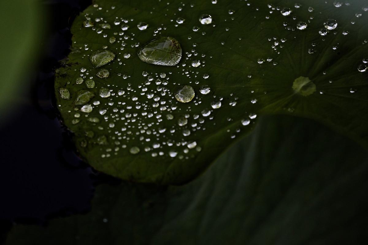 雨上がりの古代蓮・・・その②_e0071967_8343912.jpg