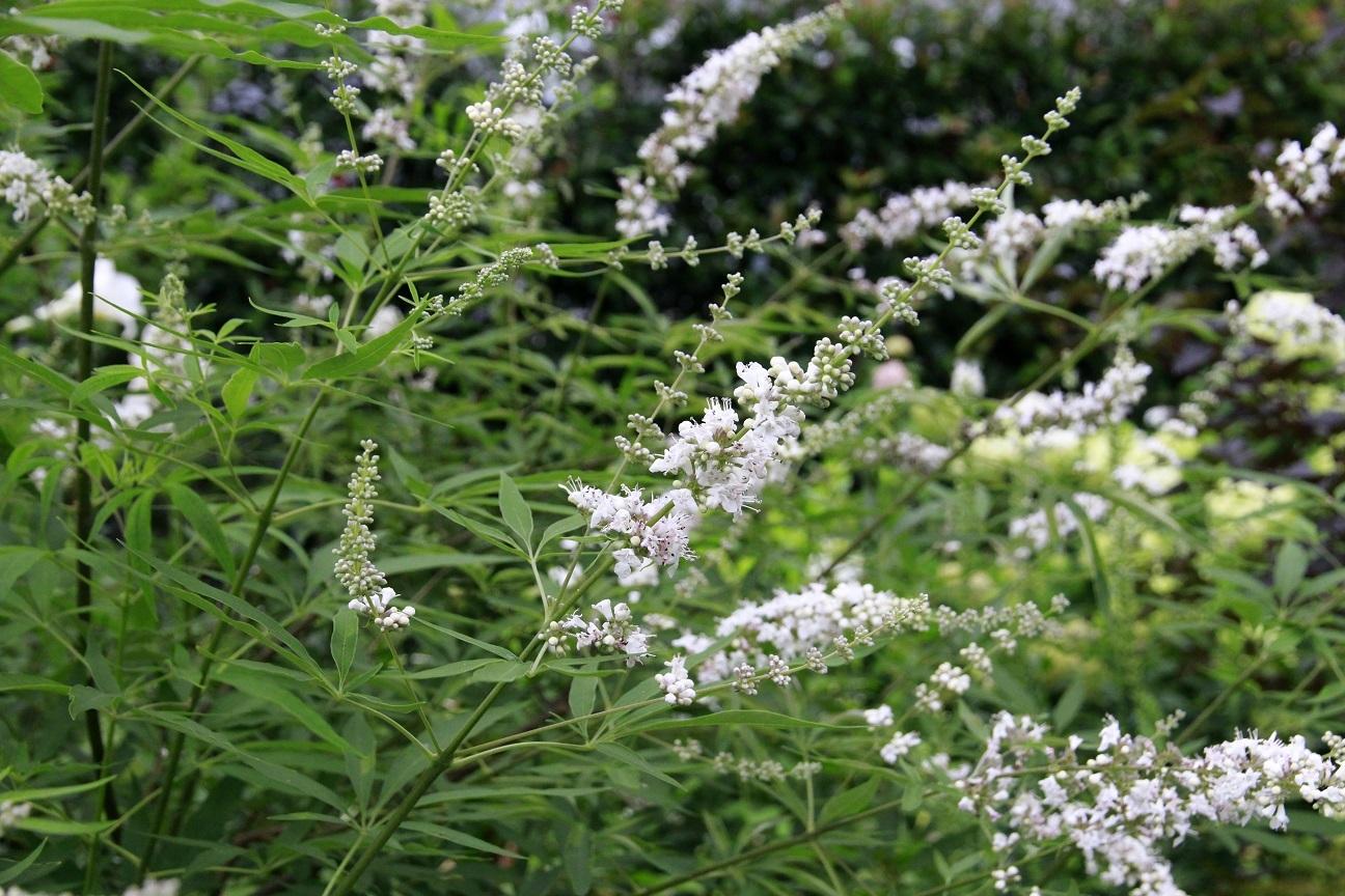 白花のニンジンボク_a0107574_12431465.jpg