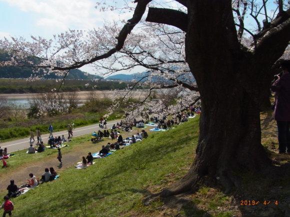 背割りの桜_b0002879_07205001.jpg