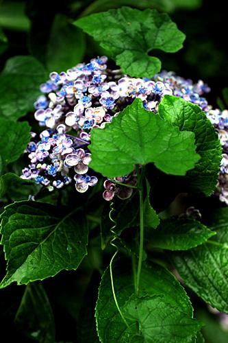 photo lesson - 紫陽花_c0311715_15021927.jpg