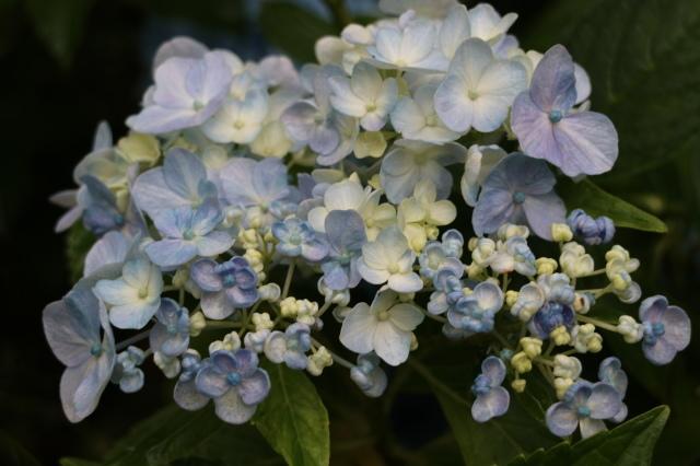 やる気を出しておくれよ~、おたふく紫陽花!_e0397815_00452682.jpg