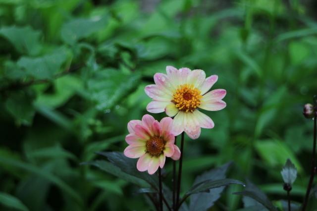 やる気を出しておくれよ~、おたふく紫陽花!_e0397815_00512294.jpg