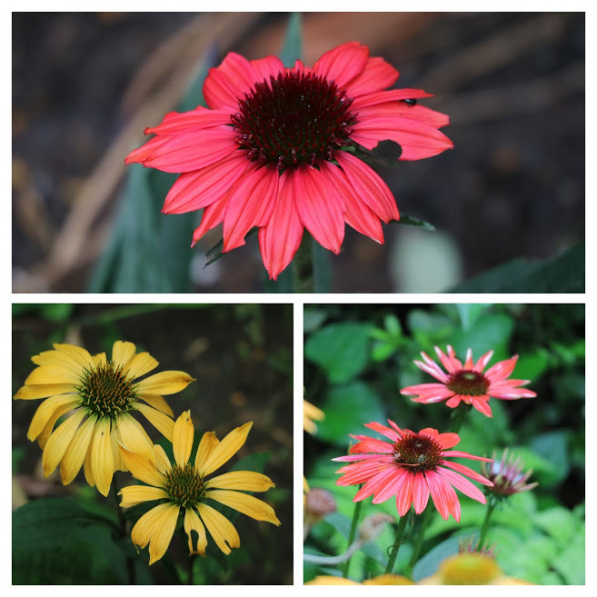 やる気を出しておくれよ~、おたふく紫陽花!_e0397815_01050326.jpg